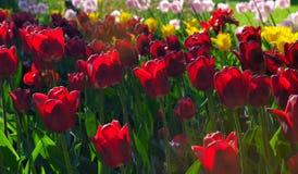Tulipanes rojos, amarillos y rosados en el parque con luz del sol de la puesta del sol Fotos de archivo