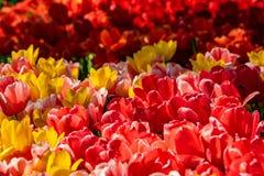 Tulipanes rojos, amarillos y rosados hermosos en tiempo soleado en Holanda fotos de archivo
