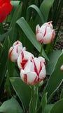 Tulipanes rojos blancos Imagen de archivo