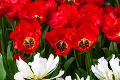 Tulipanes rojos, blancos hermosos en tiempo soleado en Holanda fotos de archivo