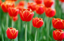 Tulipanes rojos brillantes Imágenes de archivo libres de regalías