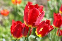 Tulipanes rojos brillantes en el jardín Foto de archivo