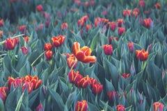 Tulipanes rojos brillantes hermosos imagen de archivo libre de regalías