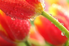 Tulipanes rojos con descensos del agua Fotos de archivo libres de regalías