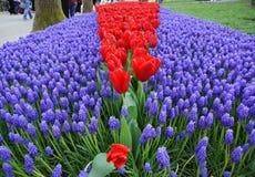 Tulipanes rojos con el flor muskar azul Imágenes de archivo libres de regalías