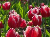Tulipanes rojos con los bordes blancos imágenes de archivo libres de regalías