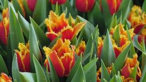 Tulipanes rojos con un primer amarillo del borde en un invernadero metrajes
