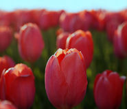 Tulipanes rojos contra el cielo El brote de una primavera florece el primer Vista lateral Fotografía de archivo