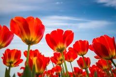 Tulipanes rojos contra un cielo azul Imágenes de archivo libres de regalías