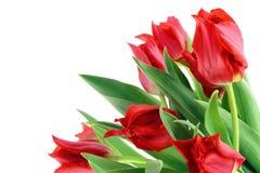 Tulipanes rojos de las primaveras aislados Foto de archivo libre de regalías