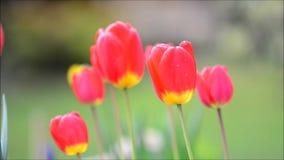Tulipanes rojos de ocsilación almacen de metraje de vídeo