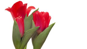 Tulipanes rojos de time lapse