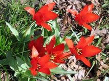 Tulipanes rojos 2017 del alto parque de Toronto Fotos de archivo