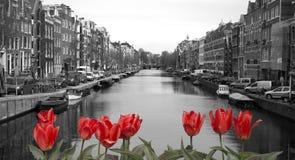 Tulipanes rojos en Amsterdam Foto de archivo libre de regalías