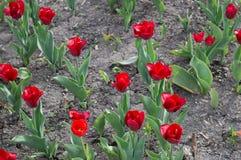 Tulipanes rojos en cama de flor de la primavera Fotografía de archivo libre de regalías