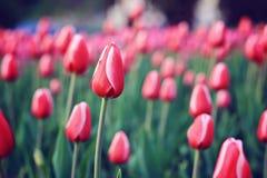 Tulipanes rojos en campo Foto de archivo libre de regalías