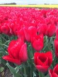Tulipanes rojos en campo Fotografía de archivo