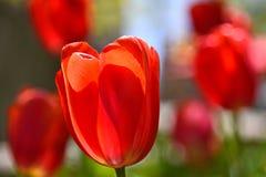 Tulipanes rojos en Detroit céntrica Fotografía de archivo