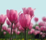 Tulipanes rojos en el cielo del fondo Imágenes de archivo libres de regalías