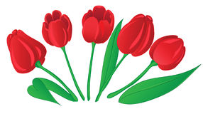 Tulipanes rojos en el fondo blanco. libre illustration