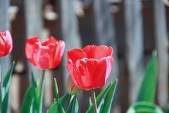 Tulipanes rojos en el fondo de la cerca imagenes de archivo