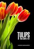 Tulipanes rojos en el fondo negro Foto de archivo libre de regalías