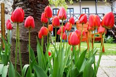 Tulipanes rojos en el jardín Imágenes de archivo libres de regalías