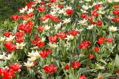 Tulipanes rojos en el jardín Fotografía de archivo