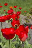 Tulipanes rojos en el jardín botánico Fotografía de archivo