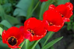 Tulipanes rojos en el macizo de flores imagen de archivo