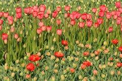 Tulipanes rojos en el macizo de flores Brotes grandes de tulipanes Foto de archivo libre de regalías
