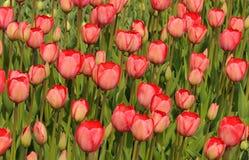 Tulipanes rojos en el macizo de flores Brotes grandes de tulipanes Imagen de archivo