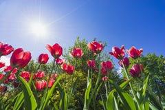 Tulipanes rojos en el parque Foto de archivo
