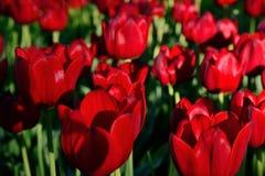 Tulipanes rojos en el parque debajo del sol poniente Fotografía de archivo