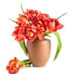 Tulipanes rojos en florero de la arcilla en el fondo blanco Fotos de archivo