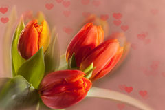 Tulipanes rojos en fondo rosado Foto de archivo