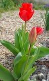 Tulipanes rojos en frontera de la grava Fotos de archivo