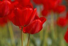 Tulipanes rojos en jardín Foto de archivo