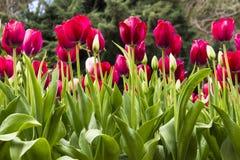 Tulipanes rojos en jardín botánico imagen de archivo