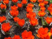 Tulipanes rojos en Keukenhof Foto de archivo libre de regalías