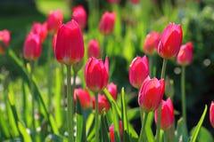 Tulipanes rojos en la cama de flor en luz natural imagen de archivo libre de regalías
