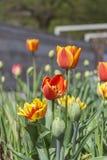 Tulipanes rojos en la ciudad de la primavera Imagenes de archivo