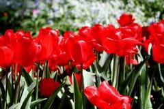 Tulipanes rojos en la floración con las flores blancas en fondo imagen de archivo