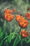 Tulipanes rojos en la lluvia Foto con el tono hermoso Foco selectivo foto de archivo