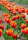 Tulipanes rojos en la primavera 2 Imagen de archivo libre de regalías
