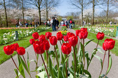 Tulipanes rojos en los jardines de Keukenhof Imágenes de archivo libres de regalías