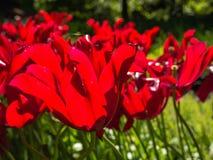 Tulipanes rojos en luz del sol brillante Imágenes de archivo libres de regalías
