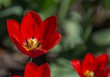 Tulipanes rojos en parque de la ciudad Imagen de archivo libre de regalías