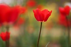 Tulipanes rojos en resorte Imágenes de archivo libres de regalías