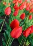 Tulipanes rojos en resorte fotografía de archivo libre de regalías